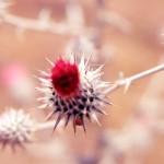 Desert flower L