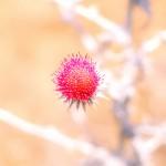 Desert flower XL